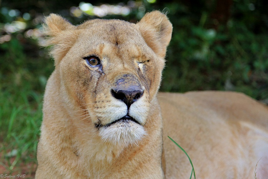 Lilongwe Rescue center: Bella, leeuwin gered uit Roemeense zoo door de Born Free Foundation