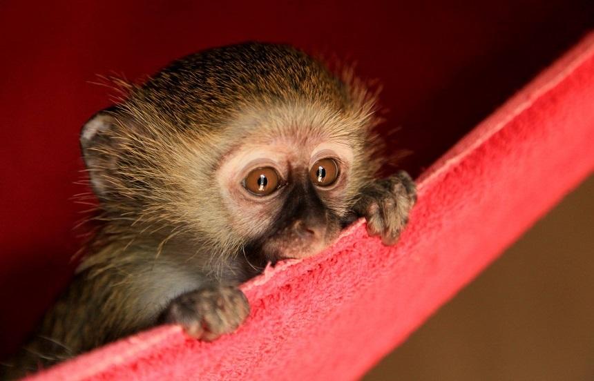 Lilongwe Rescue Center: Rob, black-faced vervet monkey (meerkat), als wees terecht gekomen in het opvangcentrum. Zal normaal gezien vrij gelaten worden met een heleboel andere van haar soortgenoten