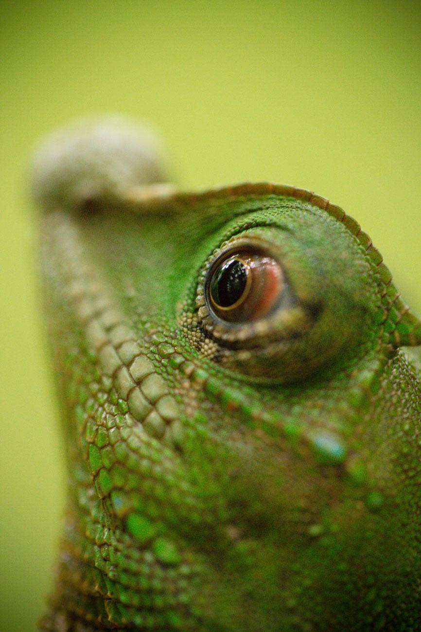 Iguana in het Sinharaja regenwoud