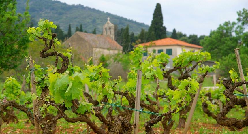 Veel druivenrassen zijn uniek voor Kroatië.