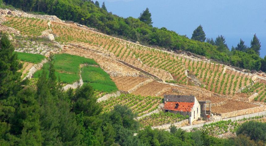 De beste wijnen komen van de streek Dingač op Pelješac.