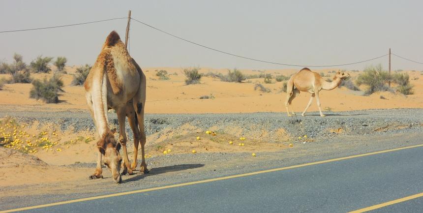 Kamelen langs de weg naar Oman hebben appels gevonden.