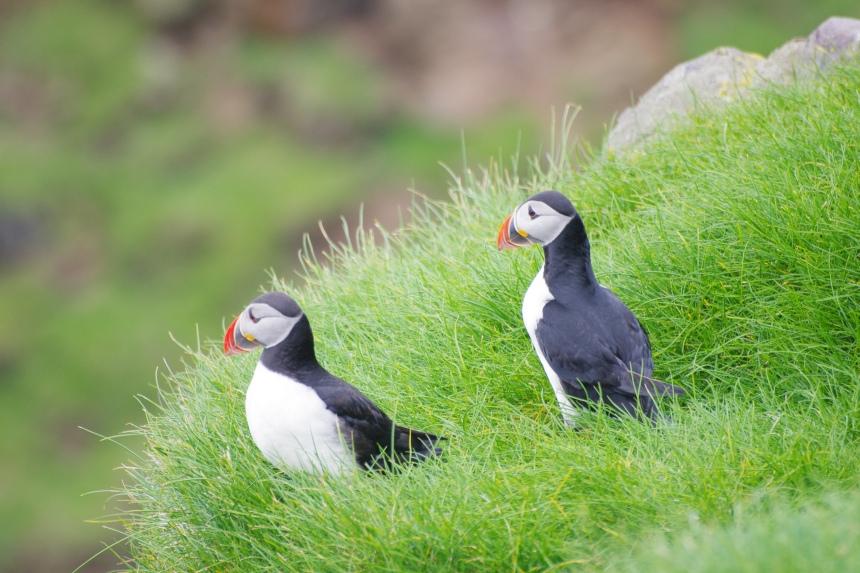 Papegaaiduikers komen in mei aan land om te broeden. De rest van het jaar zijn ze op zee.