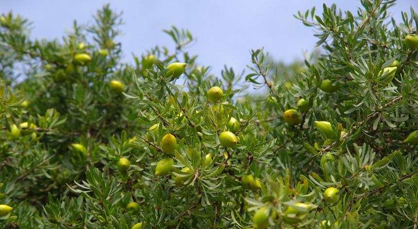 Tussen Agadir en Essaouira is de enige plek ter wereld waar de Arganboom groeit. In de vruchten zit het goud.
