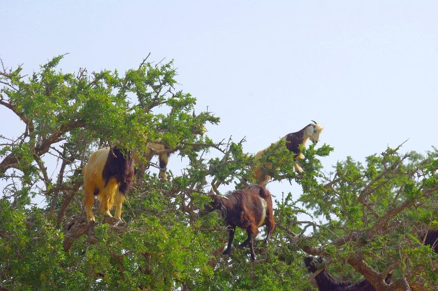 Geiten hoog in de Arganboom. Ze eten de vruchten en poepen de noten uit.