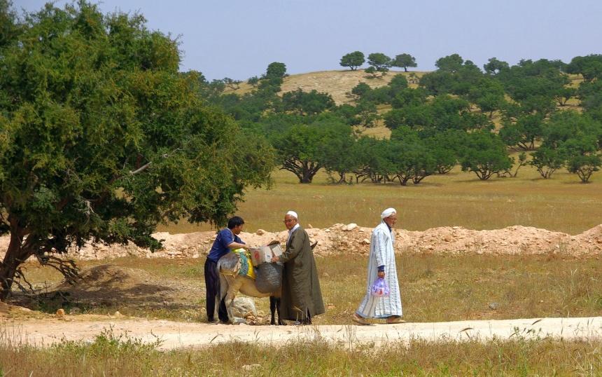 De Argannoten worden op ezels gepakt.