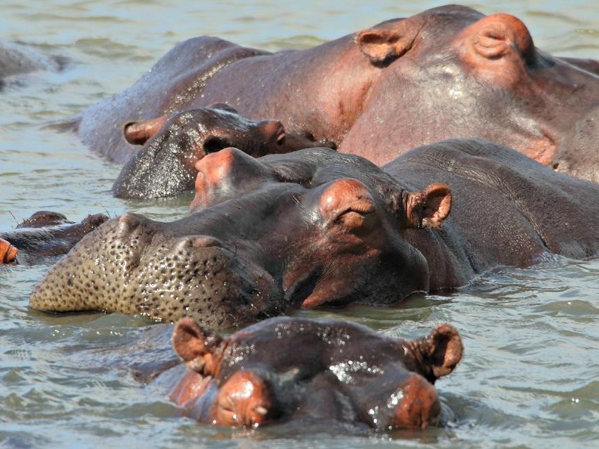 nijlpaarden-zuid-afrika