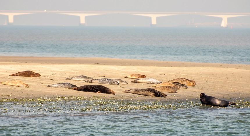 Tussen twee uur voor laag water tot een uur na laag water liggen de zeehonden meestal te zonnen op een zandbank. Ze luieren veel op het strand en genieten van de zon