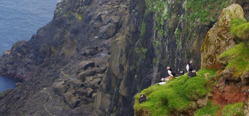Papegaaiduikers broeden op de kliffen hoog boven zee.