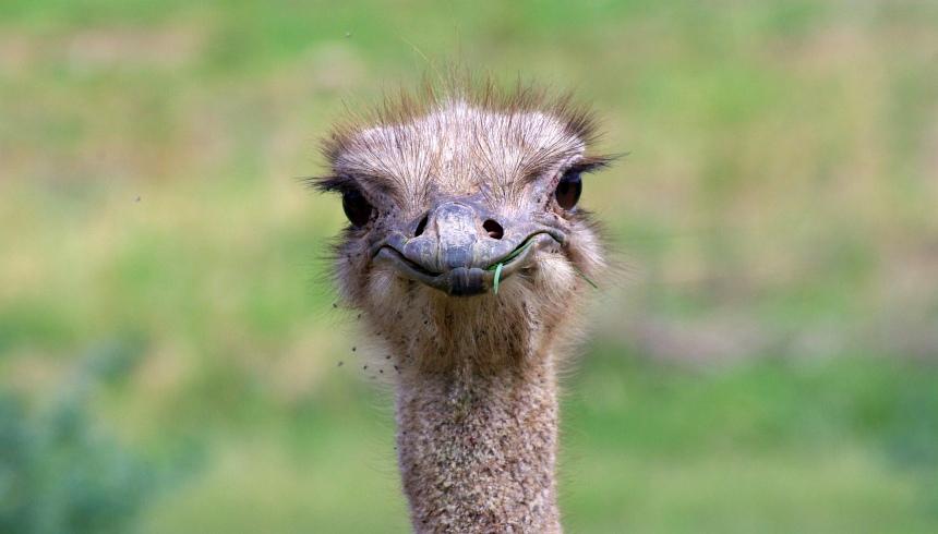 Oudtshoorn is de hoofdstad van de struisvogels.