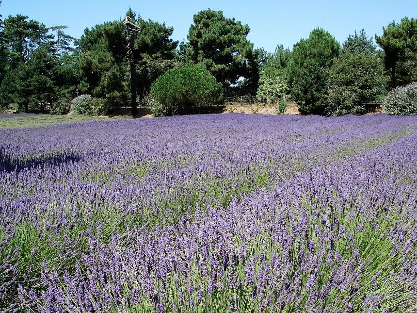 Lavendeltuinen strekken zich honderden meters ver uit