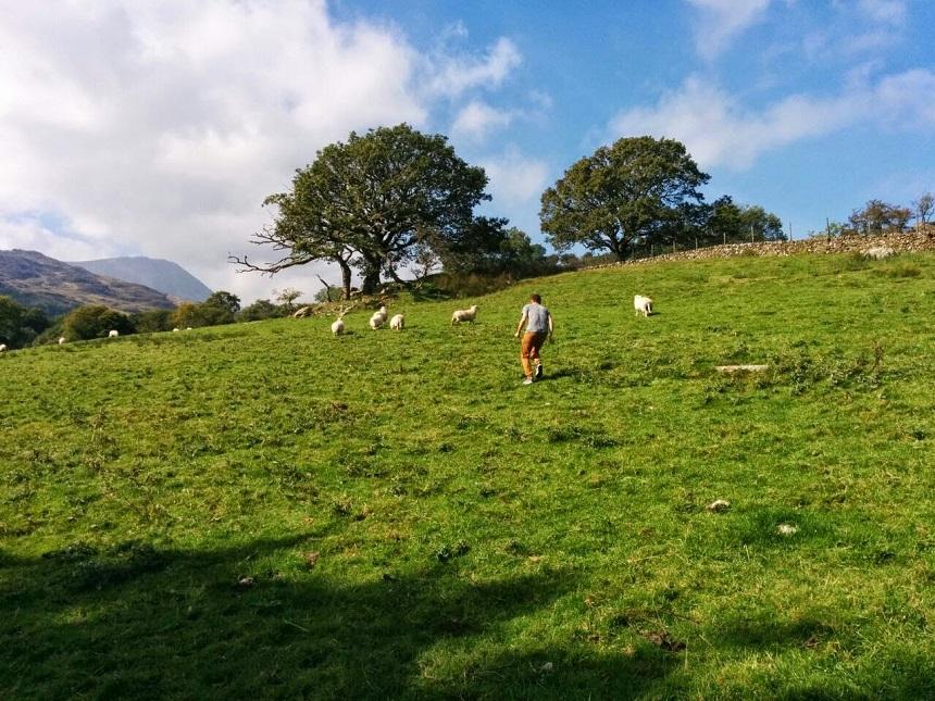 Wales schapen