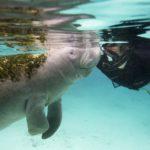 Snorkelen tussen manatees in Florida