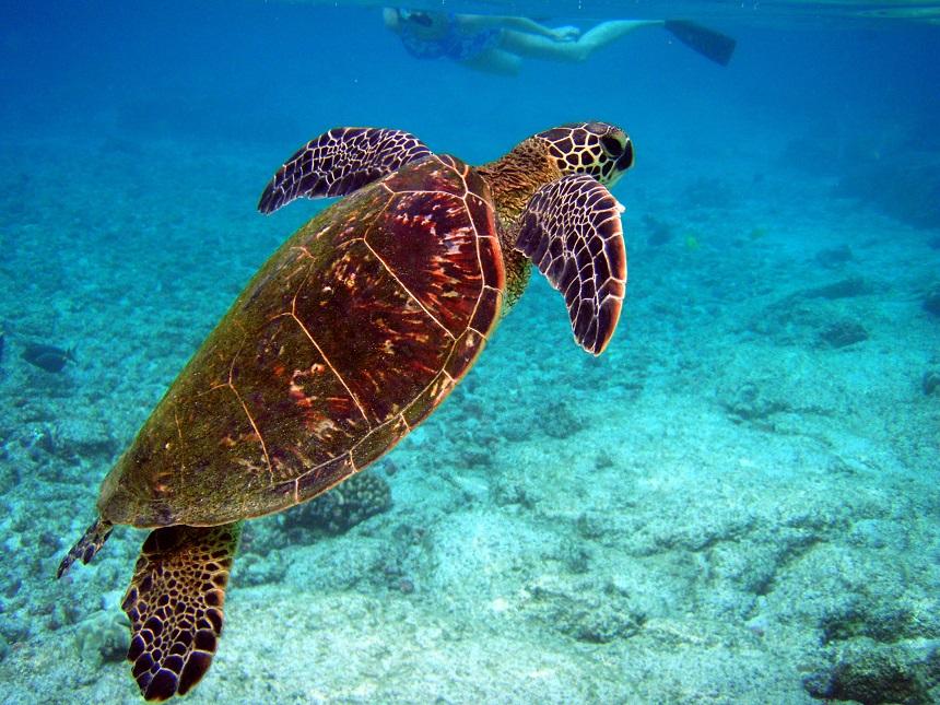 De Caretta-Caretta schildpad zul je zeker spotten in Zakynthos