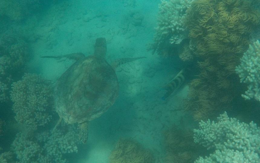 Low Isle groene zeeschildpad