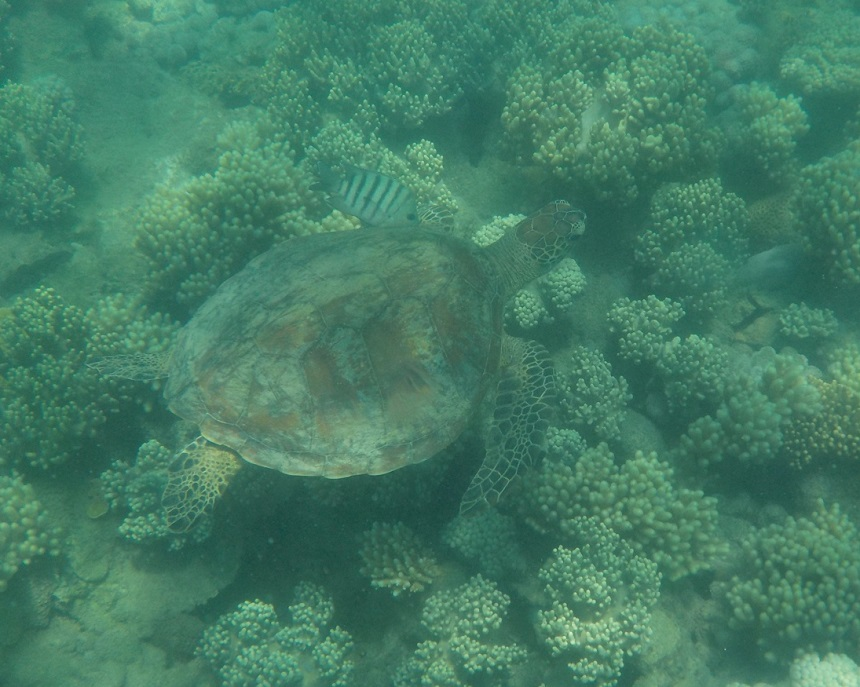 Low Isle soepschildpad