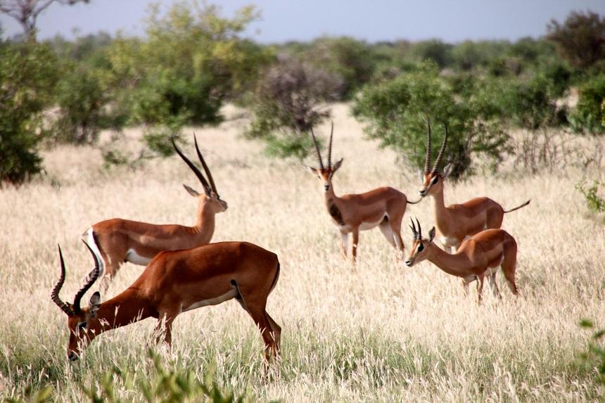 Safari Impalas