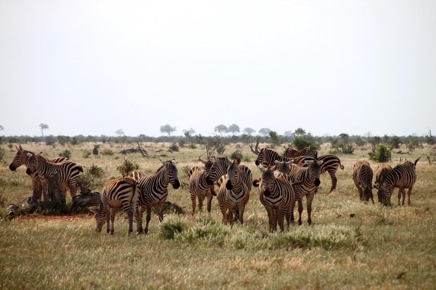 Safari zebra's