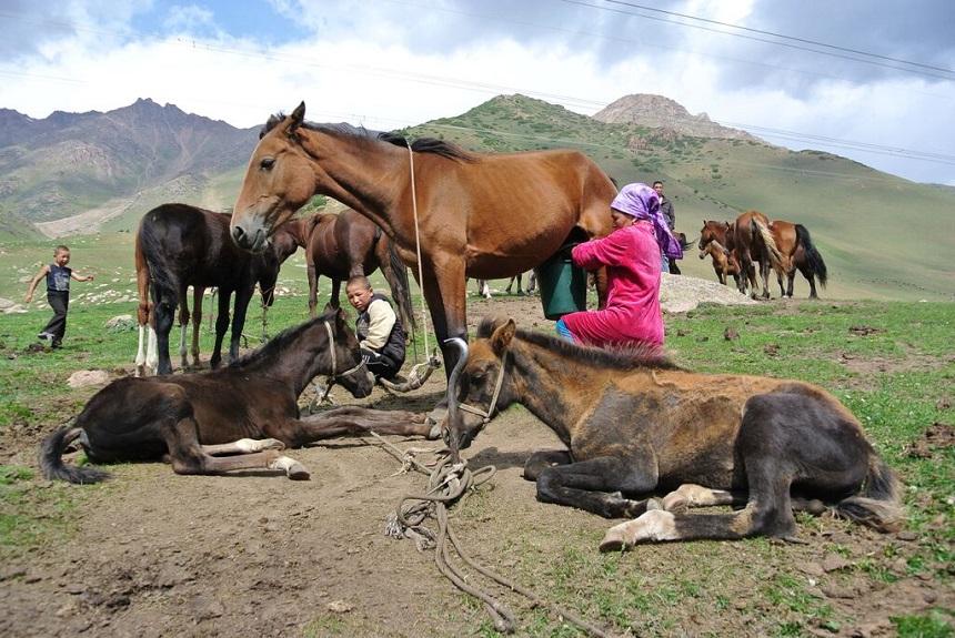 kirgizie paarden melken