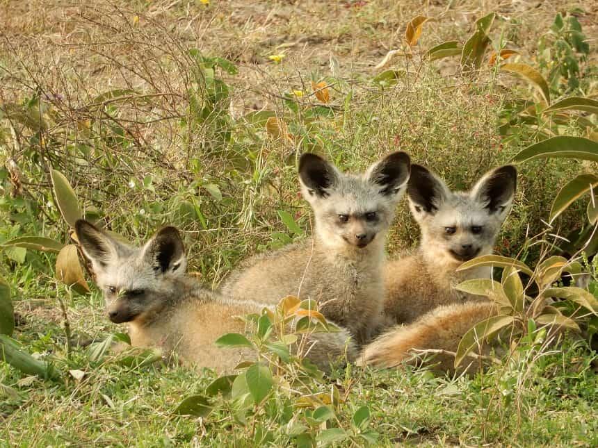 Deze koddige diertjes zijn de zogenaamde 'Bat Eared Foxes'. Ze eten alleen kleine kevertjes en zijn verschrikkelijk schichtig