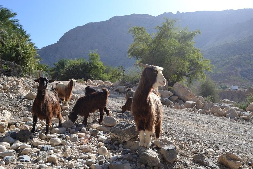 Berggeiten in Oman
