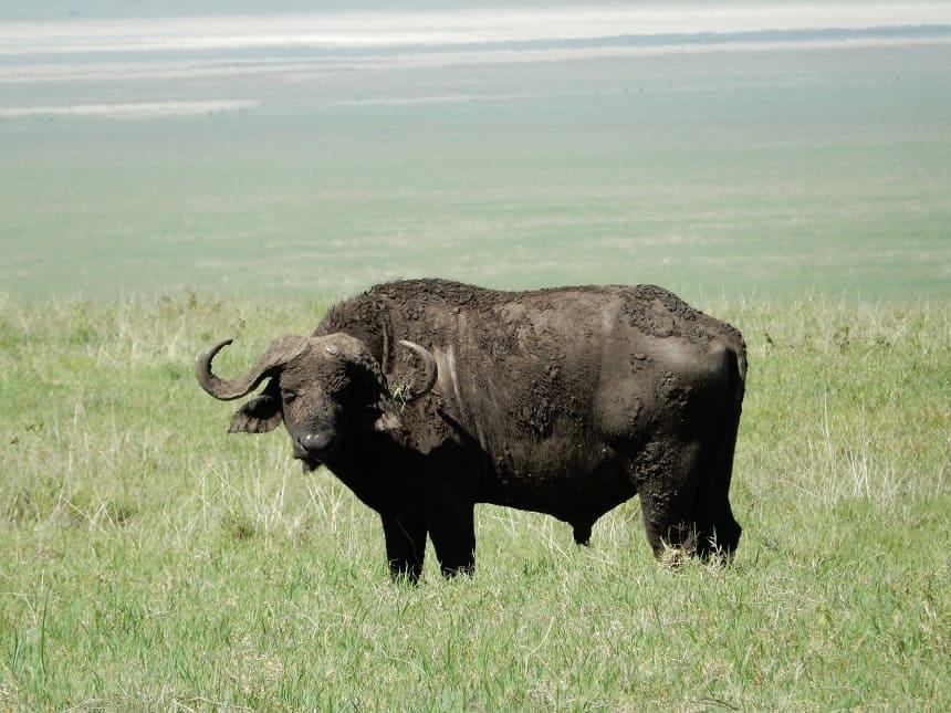 Grote groepen buffels verwelkomen je al bij het betreden van de krater