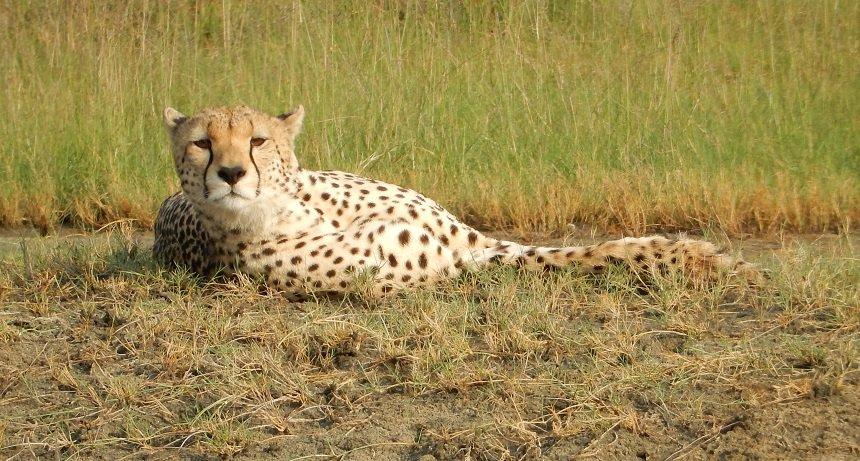 Jachtluipaarden (cheetah) zijn over het algemeen niet zo makkelijk te spotten, maar soms gaan ze er gewoon voor klaarliggen!