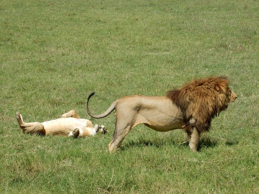 Leeuwen zonderen zich af van de rest gedurende hun 'huwelijksreis'