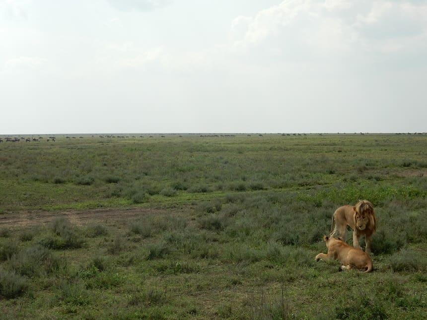 In het Serengeti hoef je weinig moeite te doen om leeuwen te spotten. Hier een echtpaar op huwelijksreis, waarbij ze zich soms wel een week afzonderen van andere dieren om zich voort te planten.