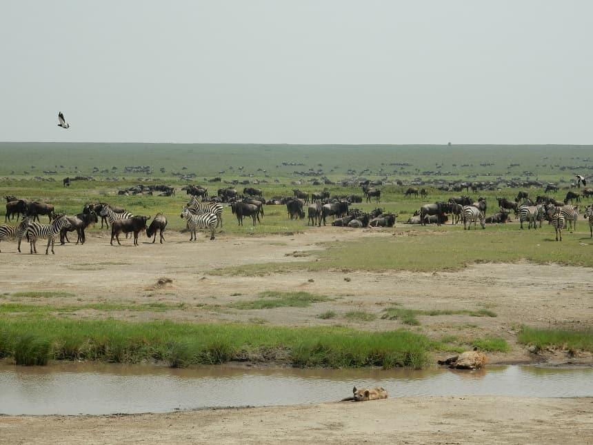 Hoewel hyena's vaak worden gezien als pure aaseters, zijn ze zelf ook uitmuntende roofdieren