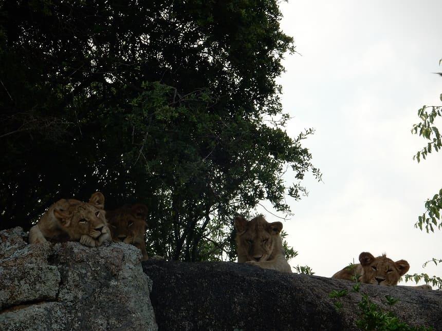 Op de rotspartijen in het Serengeti verzamelen de leeuwen zich. Ze liggen hier hoog en onder de beschutting van de bomen.