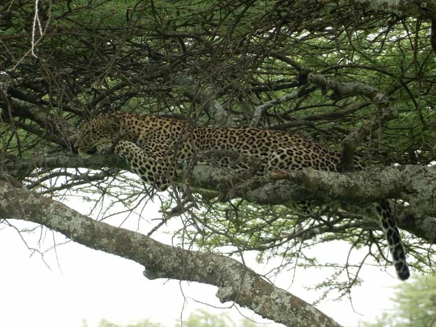 Luipaarden zijn meesters in het verschuilen, maar zo nu en dan lukt het toch om er eentje te spotten