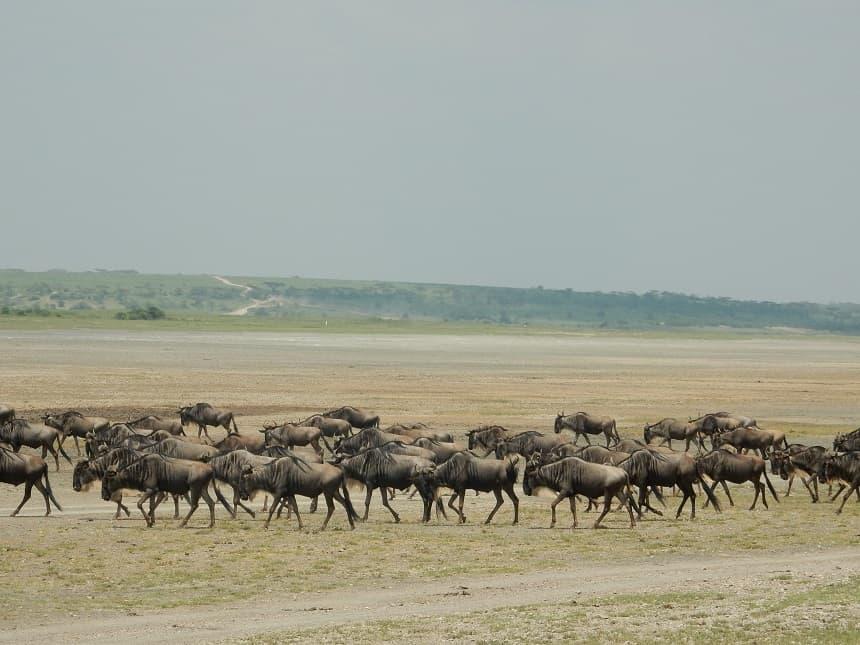 De migratie van de gnoes en zebra's is een geweldig fenomeen en valt vanaf oktober te aanschouwen