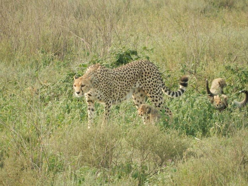 Hoewel cheetahmoeders goed voor hun kinderen zorgen, staan ze erom bekend dat bij grote paniek ze hun jongen in de steek kunnen laten om hun eigen leven te redden