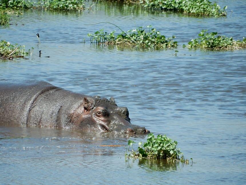 Nijlpaarden tref je in de zogenaamde 'hippo pool' temidden van de krater