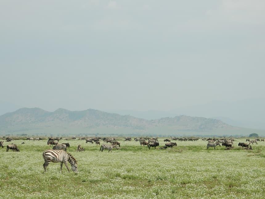 De vlaktes van het Serengeti lijken eindeloos en worden bewoond door een ontelbare hoeveelheid gnoes en zebra's