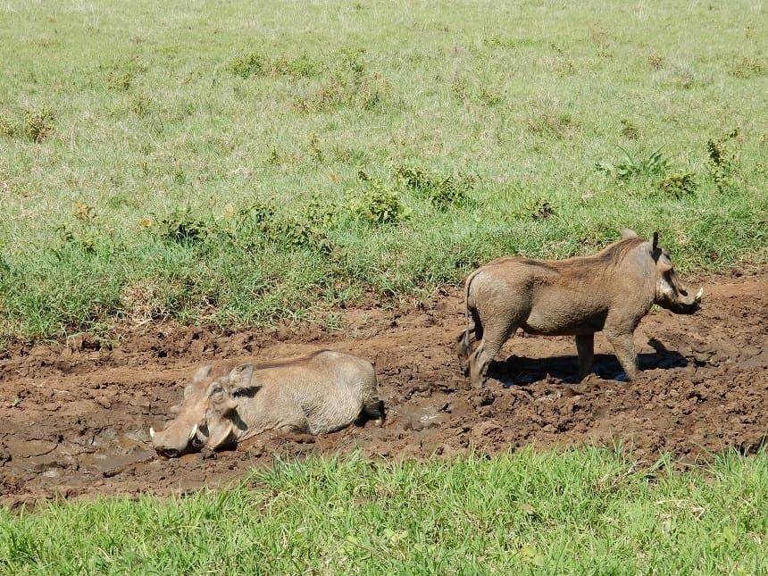 Uiteraard ontbreken de koddige zwijntjes niet in de Ngorongoro krater