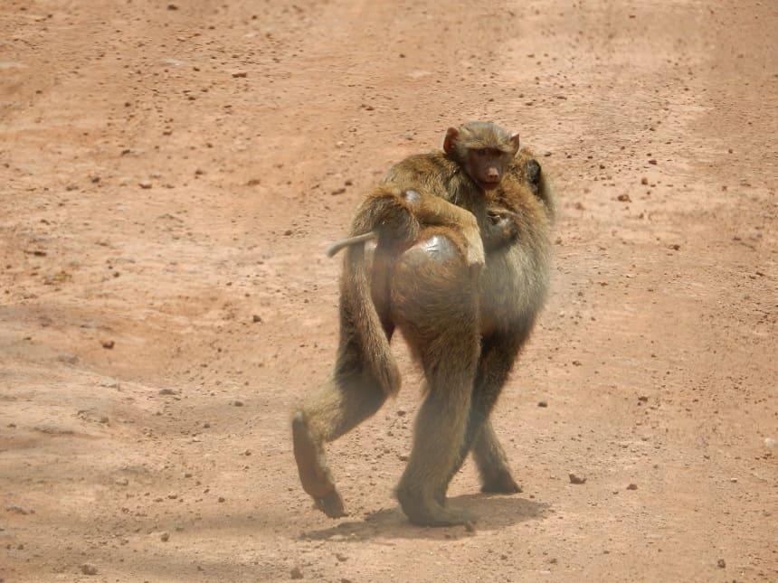 Waar je ook komt in Tanzania, deze brutale aapjes kom je overal tegen