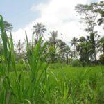 Actief in de rijstvelden van Bali