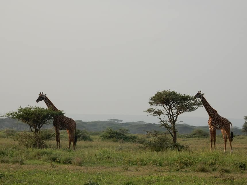 De statige giraffen zie je al van verre staan op de open vlakten van het Serengeti