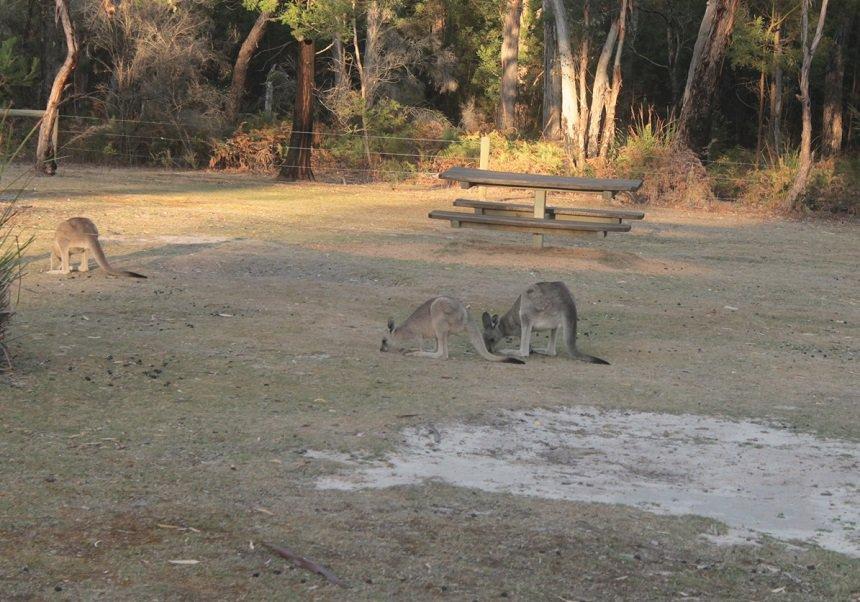 Wallaby is de naam die wordt gegeven aan verscheidene soorten kleine tot middelgrote kangoeroes. Er is echter geen vaste grens die stelt wanneer een kangoeroe een wallaby is, en wanneer niet