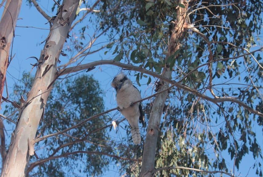 De kookaburra of gewone kookaburra of lachvogel (Dacelo novaeguineae) is de grootste ijsvogelsoort. De naam lachvogel slaat op de roep van deze vogel die erg op de menselijke lach lijkt.
