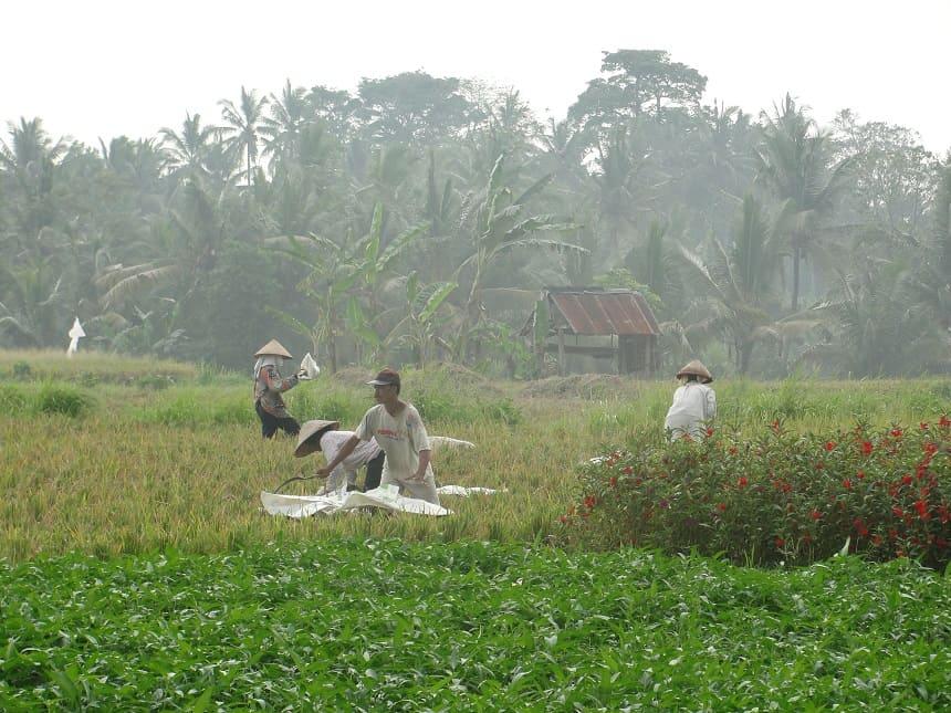rijst oogsten bali