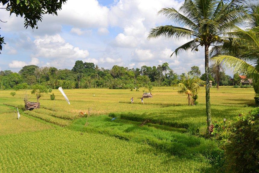 rijstvelden ubud