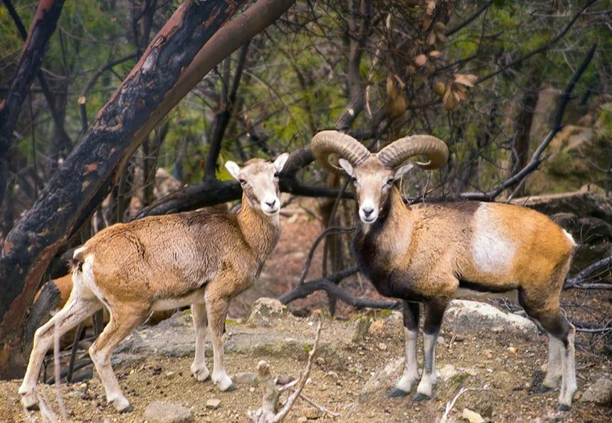 Mouflon Cyprus Troodos gebergte