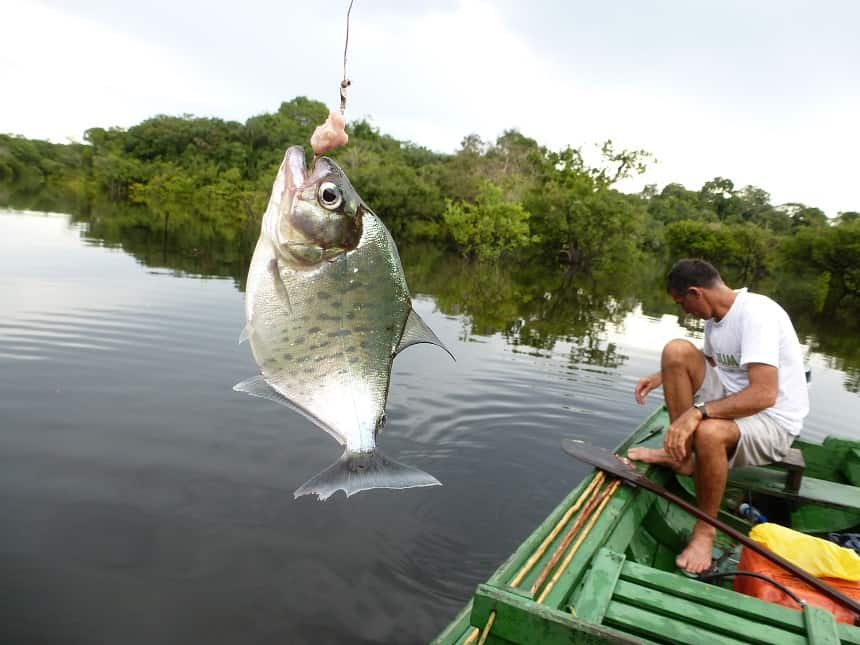 Brazilie vissen op piranha's