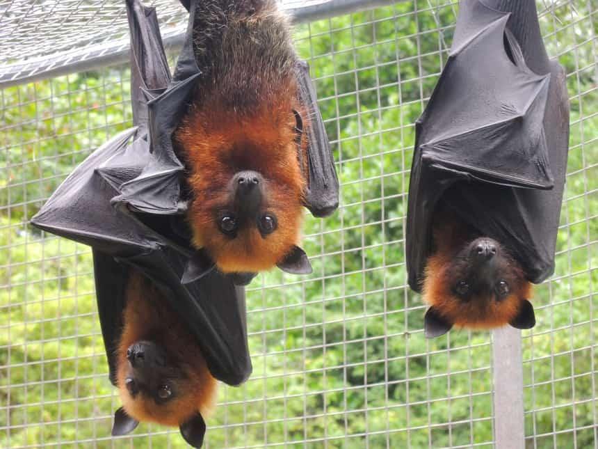 Vliegende honden zijn overal (fruit bat, flying fox). Ze eten fruit en ze zijn overdag actief. En ze zijn eetbaar!