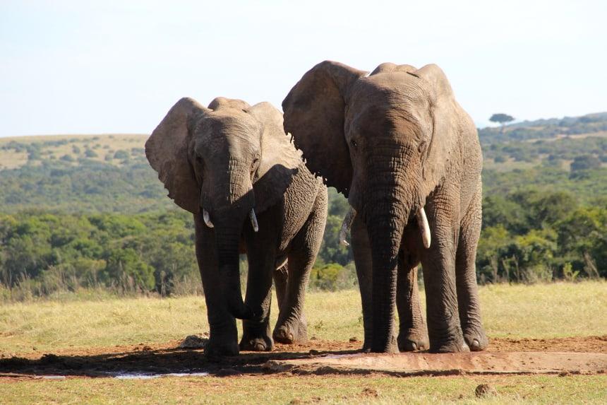 Olifanten in het Addo Elephant Park