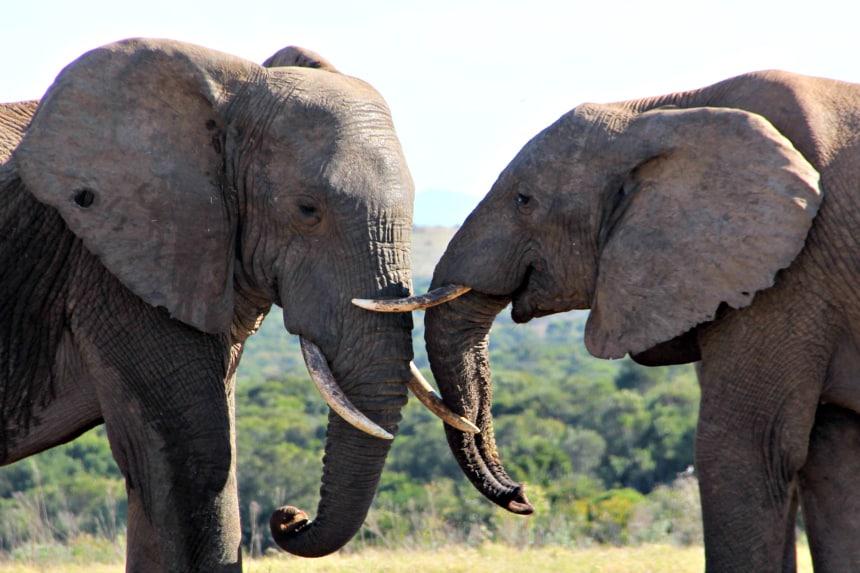 In Addo Elephant Park kun je van dichtij interactie tussen olifanten zien