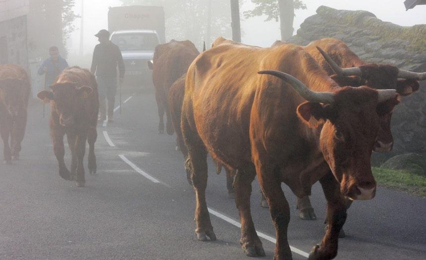 De markante koeien van de Auvergne eten ook kruiden. En dat proef je aan de kaas.